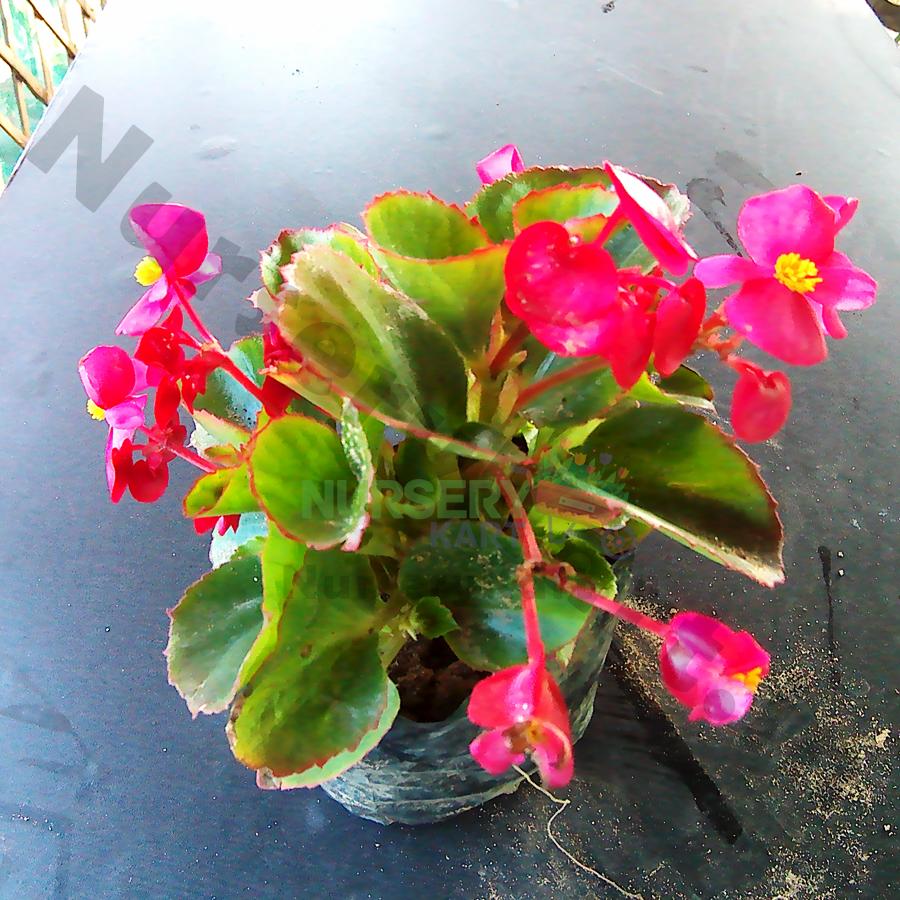 Buy Begonia Flower Plant Online In India Nursery Kart